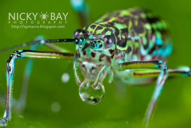 Cricket (Gryllidae) - DSC_8081
