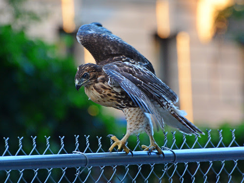Fledge 1 Walks a Fence