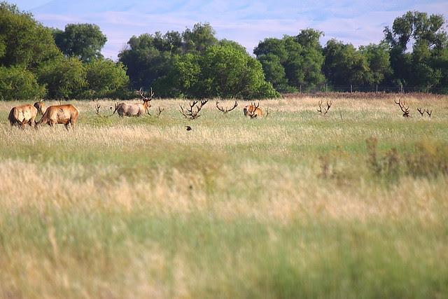 IMG_5844 Tule Elk, San Luis National Wildlife Refuge