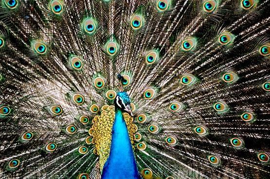 Resultado de imagem para peacock phoenix