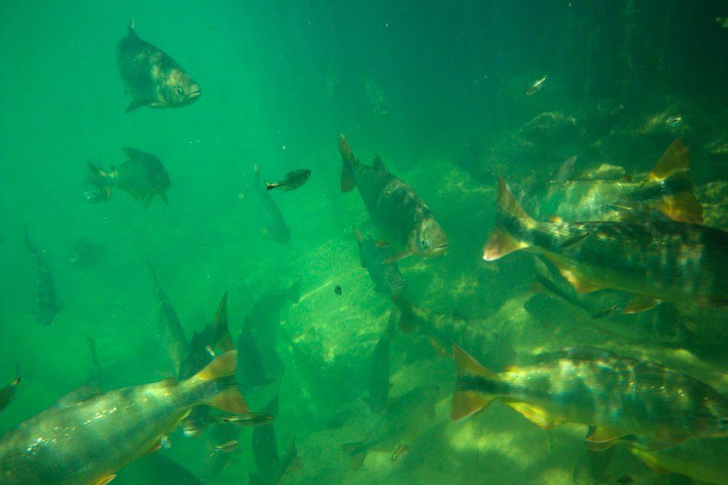 Peixes Pantanal. Foto: Mark Hillary (Flickr)