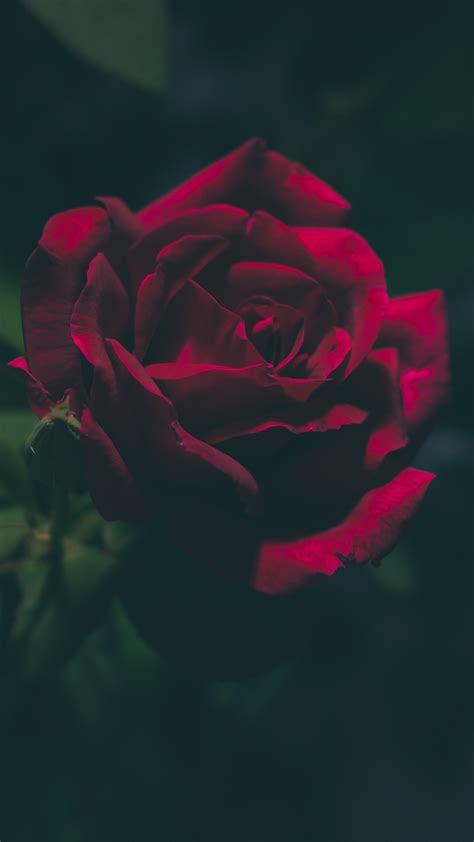 blood red rose iphone wallpaper idrop news