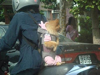 Pomeranian Mei Tai » Funny, Bizarre, Amazing Pictures & Videos