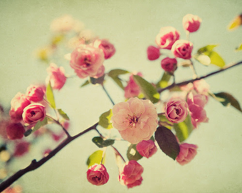 blooming, flower, flowers, nature, photography, pink, roses