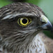 Sparrowhawk- Up close and personal