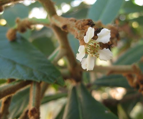 loquatflower