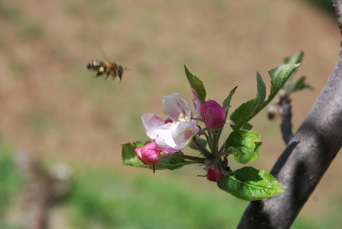 Abeille à l'atterrissage sur fleurs de pommier