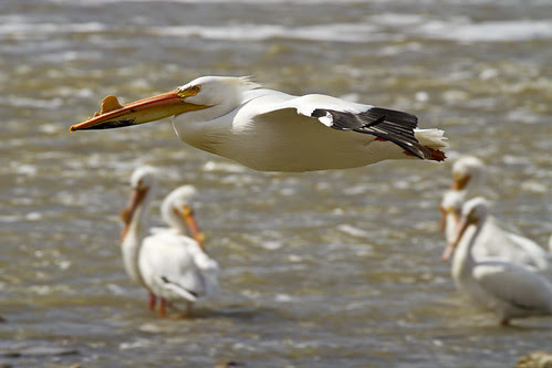 Pelican in for a Landing