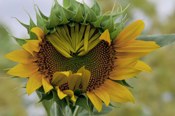 Purdue on sunflowers