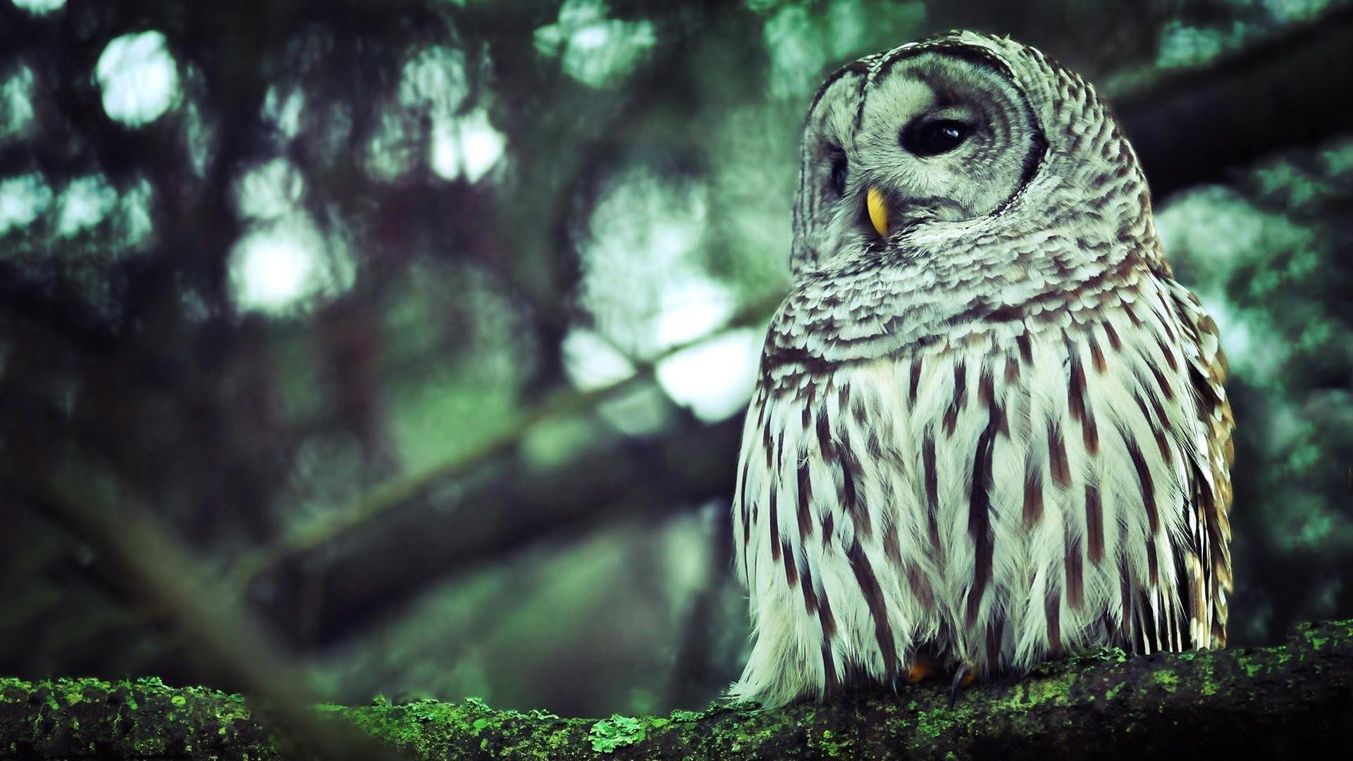 Hd Owl Wallpaper 78 Images