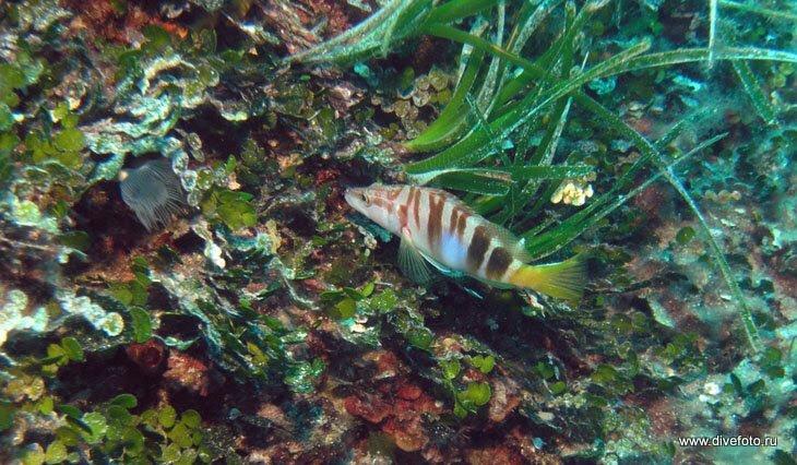 Рыба в траве Средиземное море