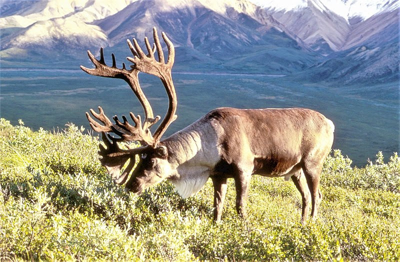 File:Caribou.jpg