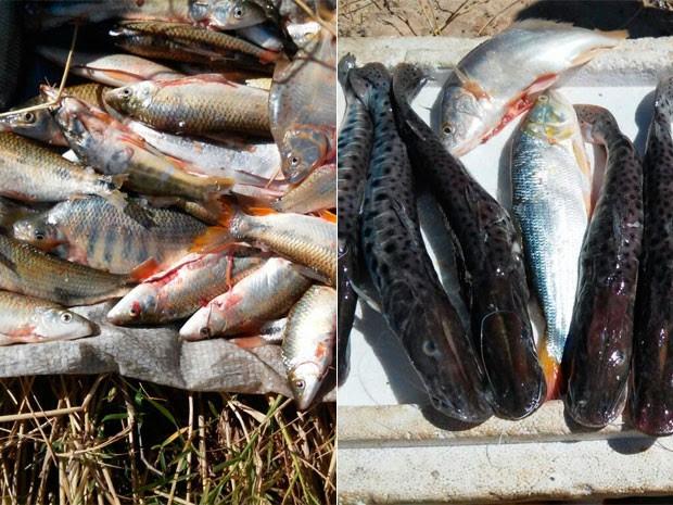 Peixes apreendidos durante fiscalização na região norte da Bahia (Foto: Divulgação/Ibama)