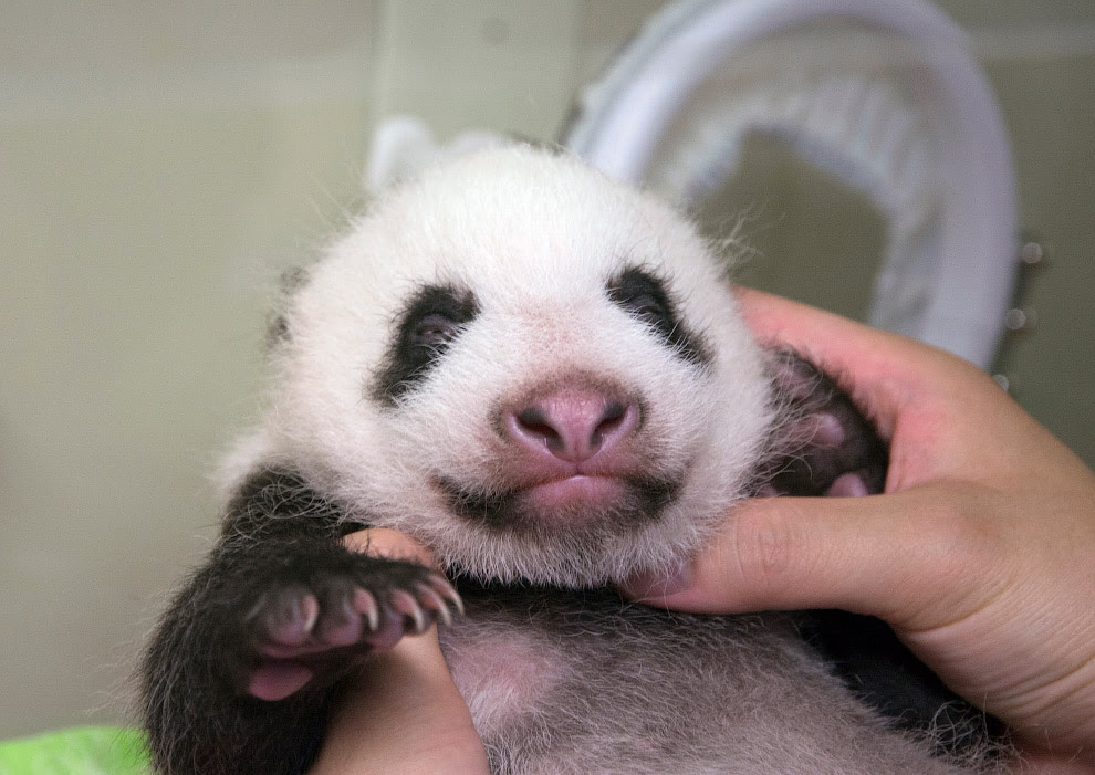Новонароджена панда в зоопарку в Токіо