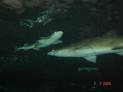 Ikan2 Jerung Kat Dlm Sydney Aquarium, Sydney, Australia