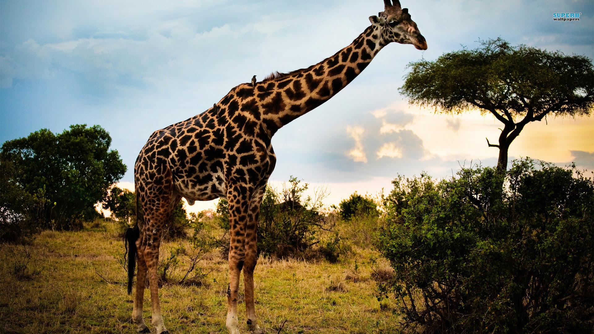 Cute Giraffe Wallpaper (62+ images)
