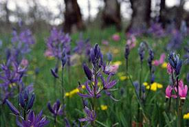 Cowichan Garry Oak Preserve flowers, BC (Photo by Tim Ennis/NCC)
