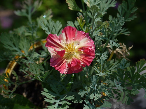 California poppy grown from a seed!