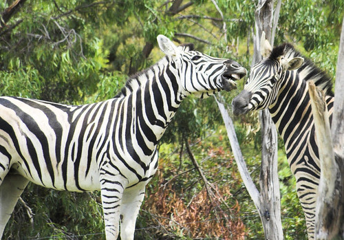 Zebra humour
