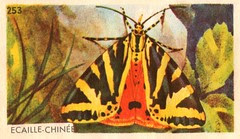 papillon 011