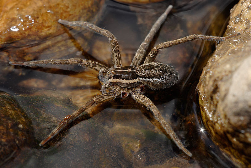 File:Fishing spider autotomy.jpg