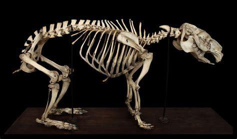 Skeleton capybaras by hontor on DeviantArt