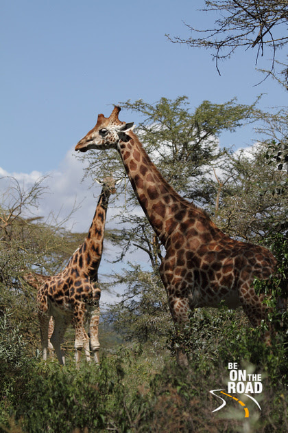 Rothchild's Giraffe, a sub species of the Maasai girafee and seen only in Lake Nakuru National Park