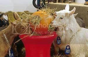 Goats Eating Hay From Balls With Holes, a Not-so-Still Life