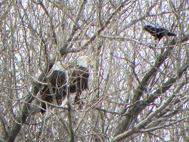 DSCN4815e Eagles with crow