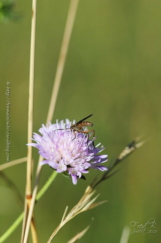 Empis sp