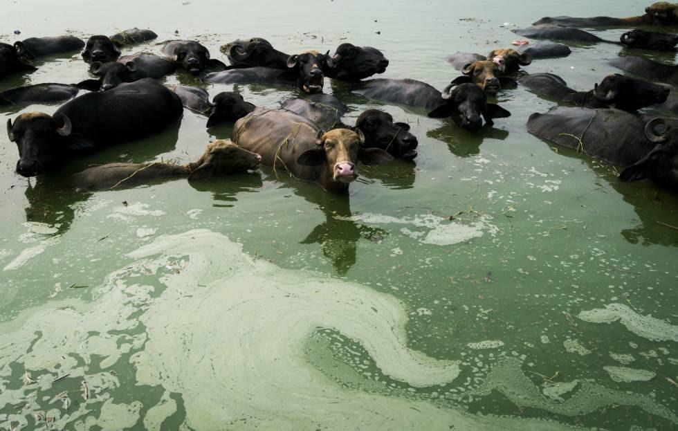 Vacas bañándose en un estanque contaminado en medio de Mari Mustafa, Punyab, India. Muchos se los residentes culpan al estanque de sus enfermedades.