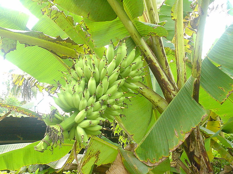 File:Bananas on tree.JPG
