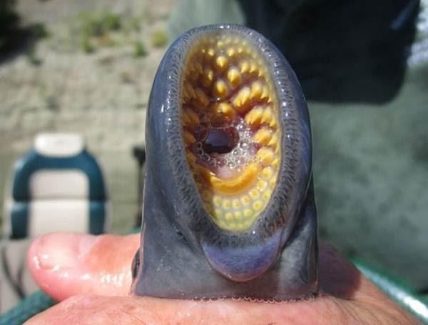 estranha-criatura-e-encontrada-grudada-em-peixe-em-lago-nos-eua (1)