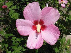 Hibiscus syriacus 2.jpg