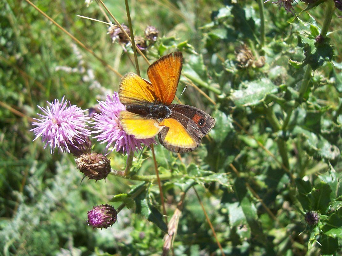 Photo de papillons : cuivré écarlate et moiré des fétuques