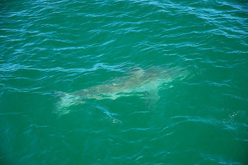A 1,500-pound great white shark was tagged off the shore of Chatham on Tuesday. It was the first tagging of the summer for scientists, who say that the great white shark sightings have grown thanks to a growing seal population. For more, click here . A day after a great white shark was tagged by scientists, three more sharks were sighted off the Chatham coast. They were described as up to 16 feet long and about 100 feet from the shore. Swimmers are being warned to stay away from seals.