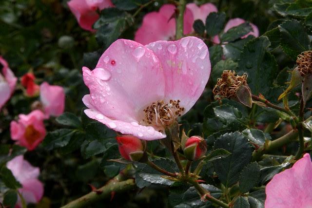 Roses, Ventura Park