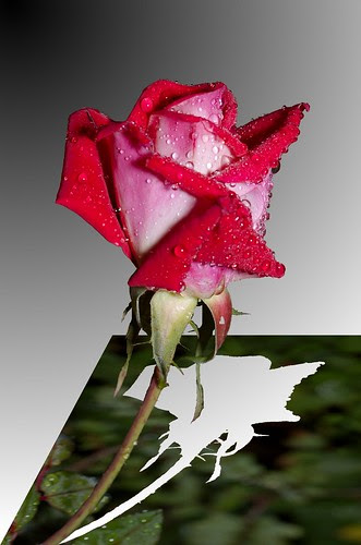 wet rose pop-up