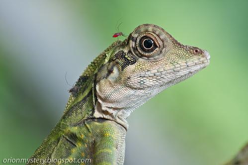female angle head lizard, gonocephalus grandis IMG_6319 copy