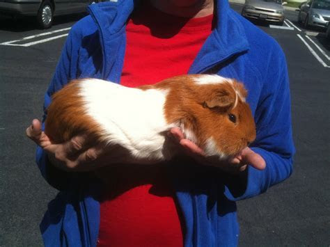 California's Giant Guinea Pigs and the Cuys Criollos Mejorados   Guinea Pig Today