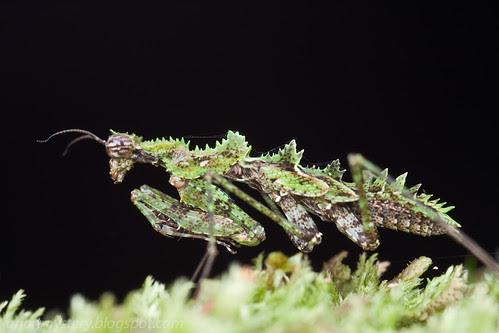 moss mantis IMG_6912 copy