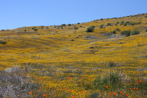 lasthenia hills