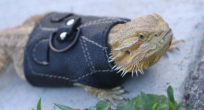 bearded dragon4