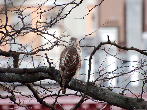 Morningside Juvenile Red-tail