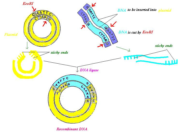 Recombinant DNA, by Tinastella, via Wikimedia Commons