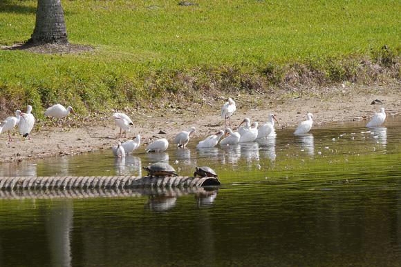 Ed Gaillard: birds &emdash; White Ibises, Boynton Beach FL