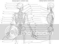 Blank Skeleton Diagram