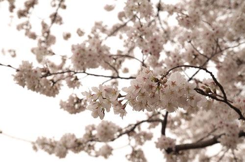 桜 by cinz