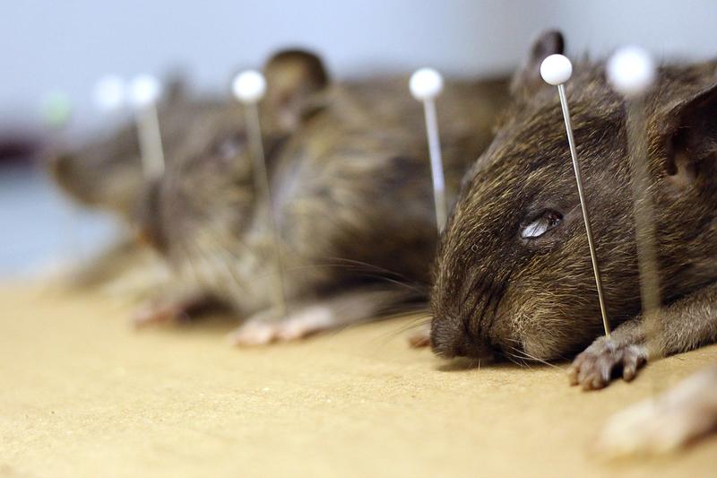 Tamaño ratas NY se acerca cada vez más al de los felinos