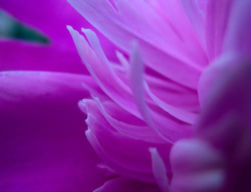 pink petals unfolding